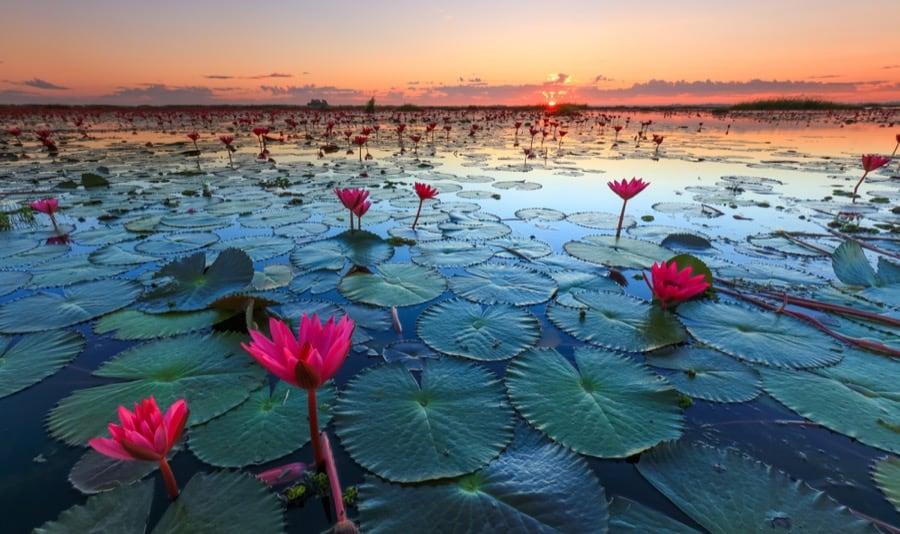 Mare di fiori di Lotus, Udon Thani